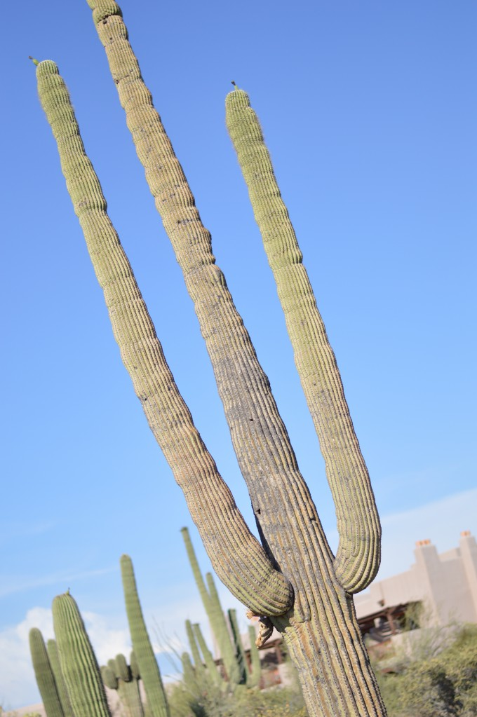 saguaro cactus, scenery at four seasons scottsdale, desert scenery