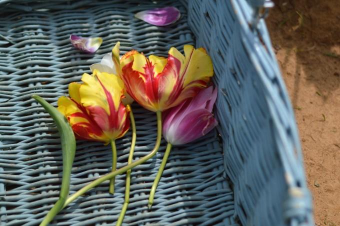 spring flowers, tulip farm