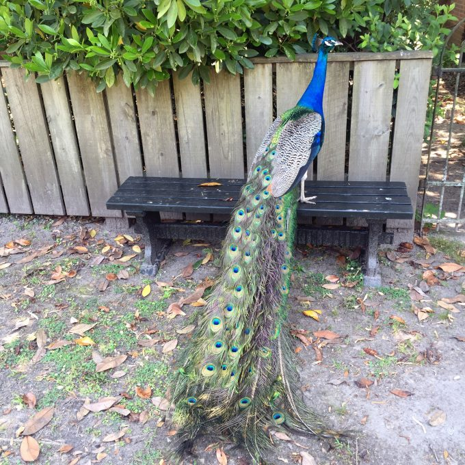 Middleton Place plantation, southern plantation, peacock on a plantation