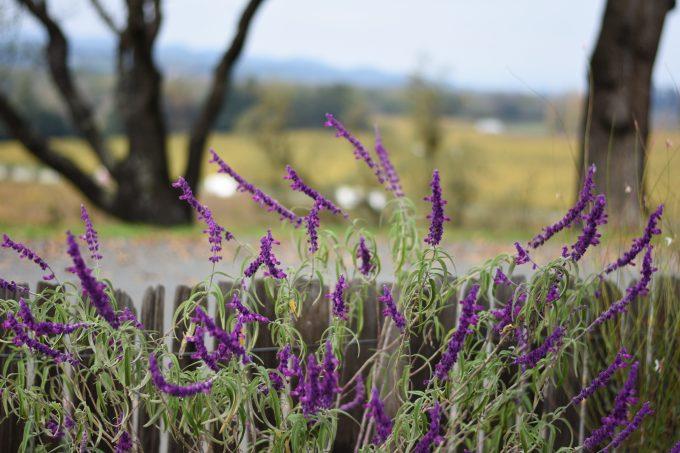 |lavender at copain|