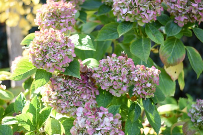 |pretty pink hydrangea at schramsberg vineyards|