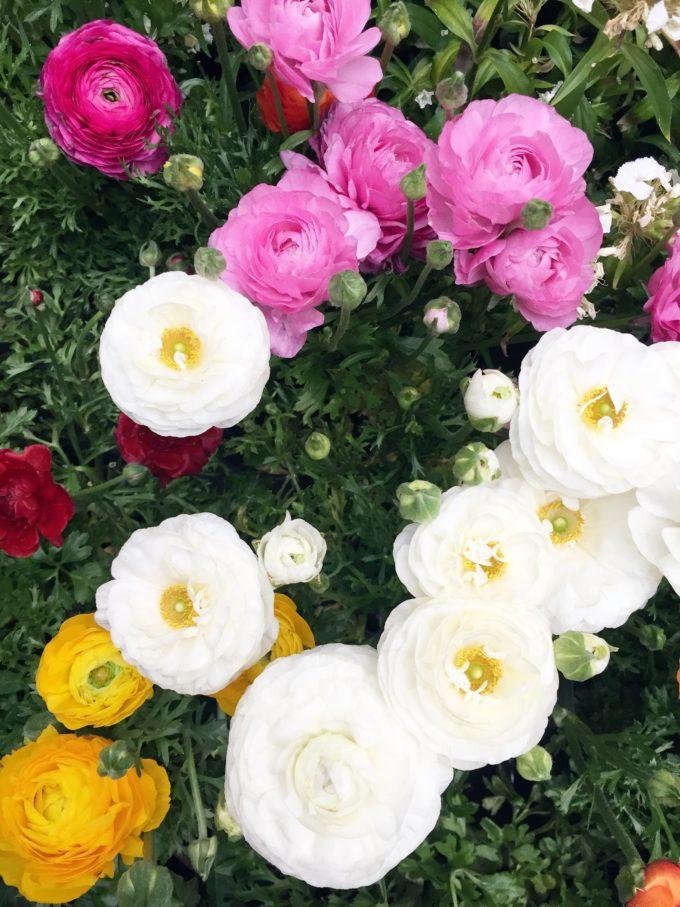 multi-colored ranunculus