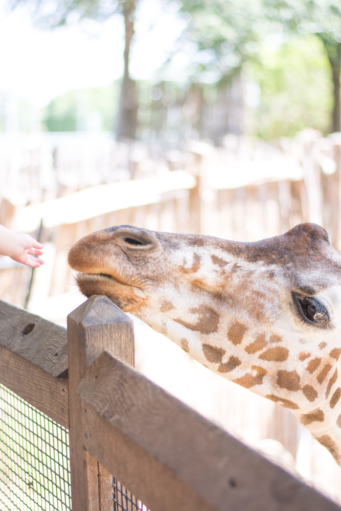 giraffe face at the zoo