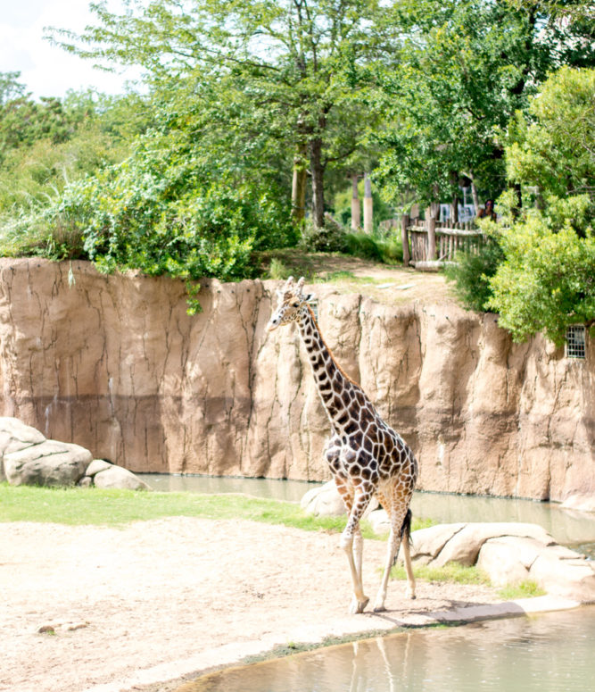 beautiful giraffe wlaking at the zoo