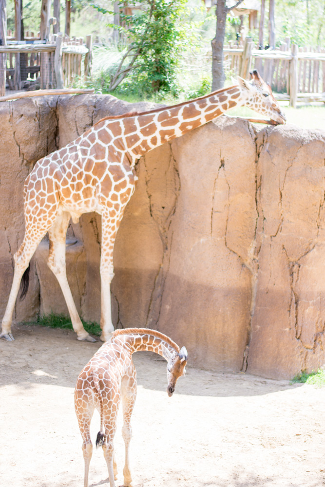 mother and baby giraffe at the zoo