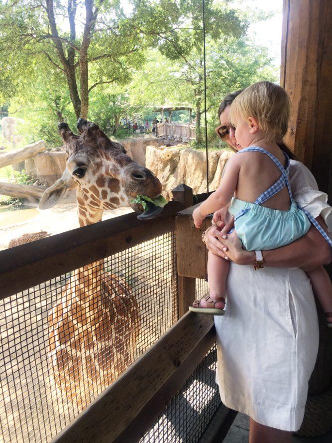 feeding the giraffe at the dallas zoo