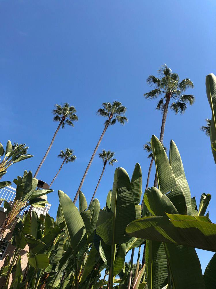 palm trees against blue sky LA